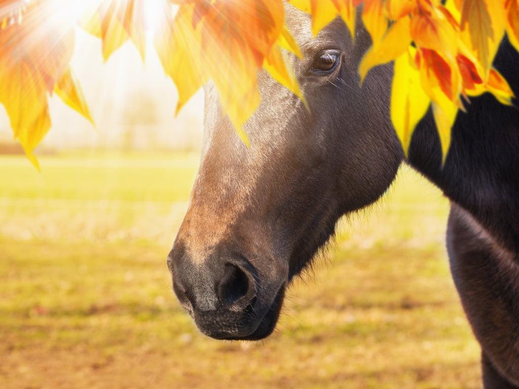 Hoesten bij paarden
