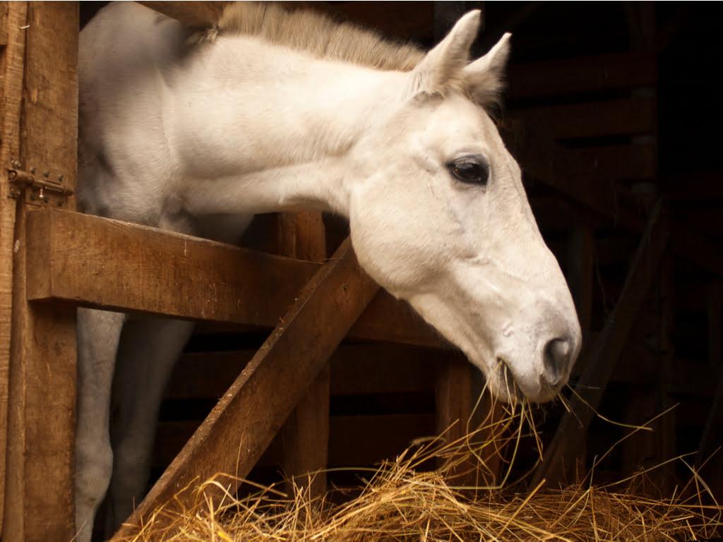 Stofallergie bij paarden