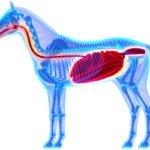 spijsvertering paard