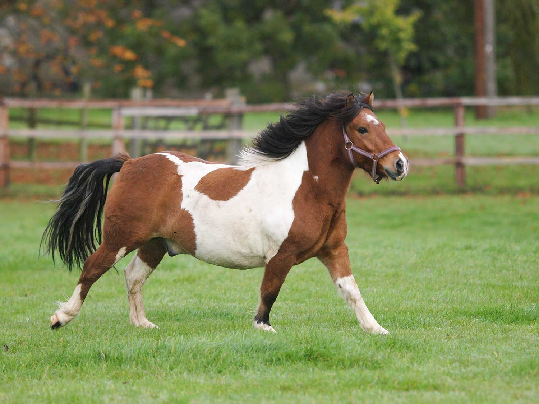 Omega 3 werking paard dieet